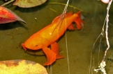 I bought this goldfish... 'Bronzey', probably 15 years ago & its still alive but now orange!!
