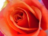 Orange rose 3