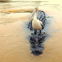 Darwin River - saltwater crocodile and pelican