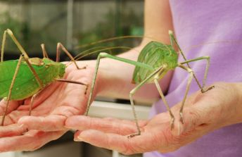 Giant Long-Legged Katydid
