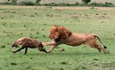 hyena-lion