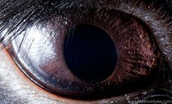 Animal Eye Macro - Black Rabbit