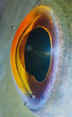 Animal Eye Macro - Fish