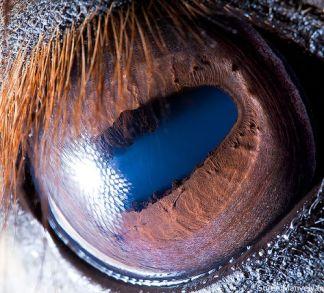 Animal Eye Macro - Horse