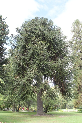 Monkey Tail Tree - Araucaria araucana