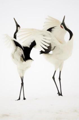 Dance of Japanese Cranes, Hokkaido Japan 2007 - Simone Sbaraglia