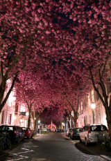 pink blossom avenue