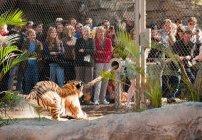 tiger tug o war Busch Gardens in Tampa, FL