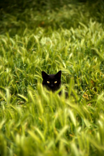 black cat stalking
