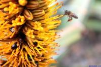 Botanic Gardens Melbourne Australia August 2012-36 honey bee