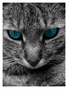 cat blue eyes