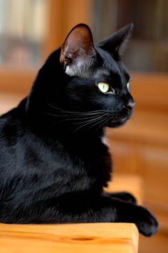 silky black cat