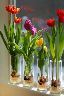 Windowsill Tulips