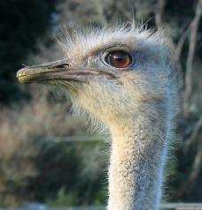 2012 07 28 Ostrich Rotorua