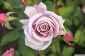 Parnell Rose Garden January 2013 001