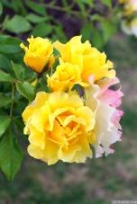 Parnell Rose Garden January 2013 003
