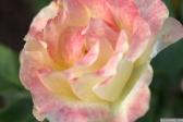 Parnell Rose Garden January 2013 004