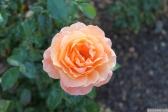 Parnell Rose Garden January 2013 005