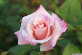 Parnell Rose Garden January 2013 006