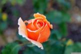 Parnell Rose Garden January 2013 007