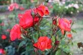 Parnell Rose Garden January 2013 009