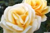 Parnell Rose Garden January 2013 010