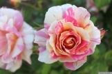 Parnell Rose Garden January 2013 012
