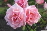 Parnell Rose Garden January 2013 013