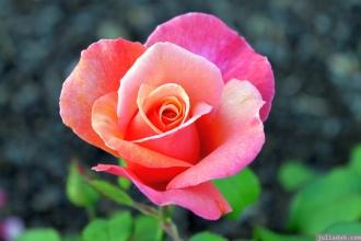Parnell Rose Garden January 2013 014
