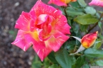 Parnell Rose Garden January 2013 015