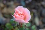 Parnell Rose Garden January 2013 017