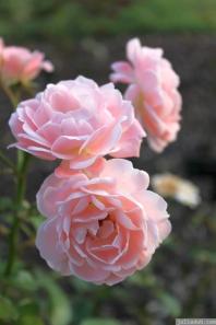 Parnell Rose Garden January 2013 018