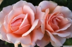 Parnell Rose Garden January 2013 021