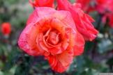 Parnell Rose Garden January 2013 023
