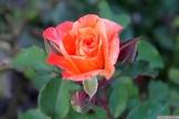 Parnell Rose Garden January 2013 024