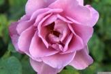 Parnell Rose Garden January 2013 025
