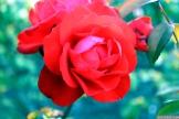 Parnell Rose Garden January 2013 028