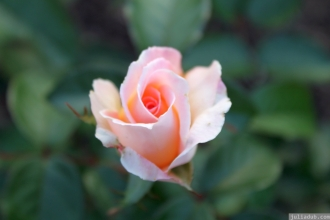 Parnell Rose Garden January 2013 030