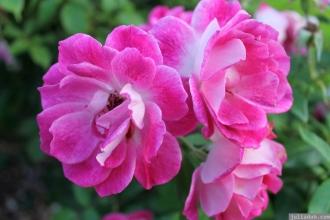 Parnell Rose Garden January 2013 033