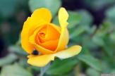 Parnell Rose Garden January 2013 037