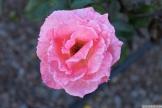 Parnell Rose Garden January 2013 038