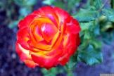 Parnell Rose Garden January 2013 039