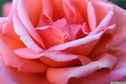 Parnell Rose Garden January 2013 042