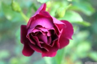 Parnell Rose Garden January 2013 044