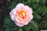 Parnell Rose Garden January 2013 045