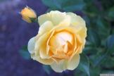 Parnell Rose Garden January 2013 046