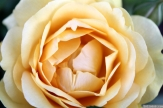 Parnell Rose Garden January 2013 047