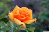 Parnell Rose Garden January 2013 048