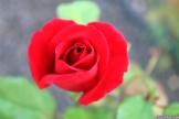 Parnell Rose Garden January 2013 049
