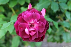 Parnell Rose Garden January 2013
